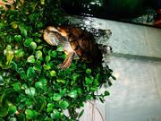 Продам аквариум 200л. с 2-я красноухими черепахами и всем оборудование