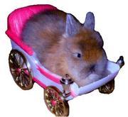 Кролики декоративные и калифорнийцы