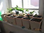 Растения привитых лимонов. Мандарины