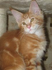 Котята мейн кун - рыжие великаны