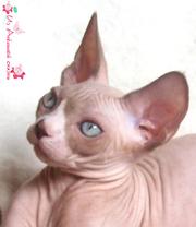 Сказочные котята канадского сфинкса