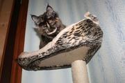 Отличные котята мейн-куны шоу-качества. Доставка