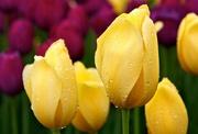 Тюльпаны свежесрезанные оптом +79139044998 Новосибирск Бугринская роща