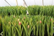 Голландские тюльпаны оптом в Новосибирске
