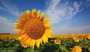 Продает гибриды кукурузы,  подсолнечника,  сои и посевной материал СЗР