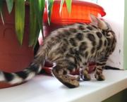 бенгальские котята из питомника Бенамур
