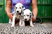 Далматина щенки с отличной родословной