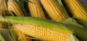 Кукуруза В Початках И Зерном.