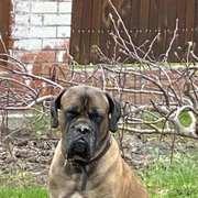 Ищем собаку породы Кане-корсо для вязки