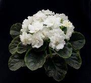 Фиалка (Сенполий) Белый жемчуг